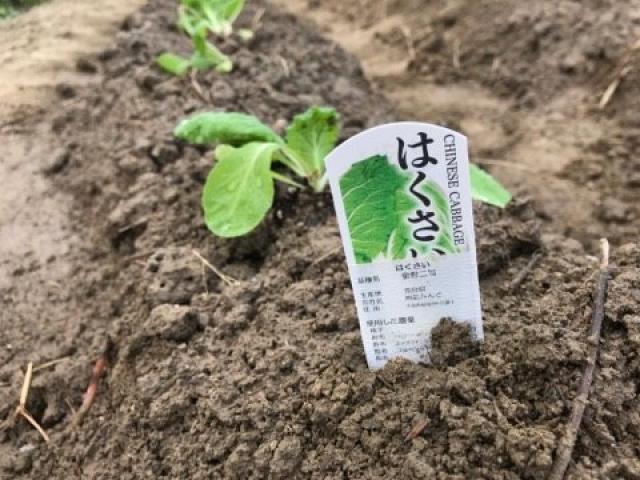 ふれあい農園にて、白菜苗植え